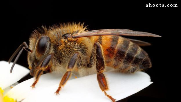 زنبور عسل آفریقایی