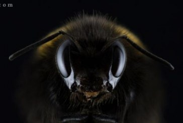 زنبورهای قاتل و خطرناک آفریقایی