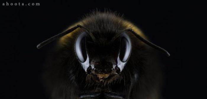 زنبورهای قاتل