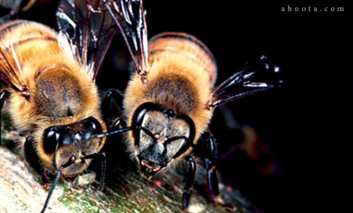 زنبور خطرناک