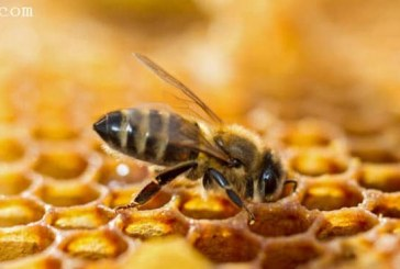 درمان ایدز با زهر زنبور عسل