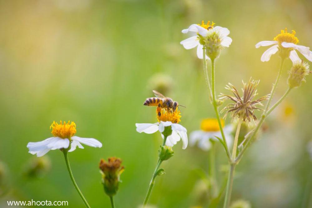 مصرف گرده گل و زیبایی