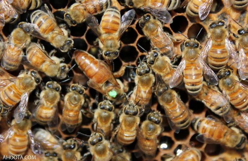زنبور عسل ملکه