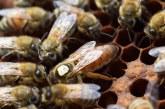 معرفی کامل ملکه زنبور عسل