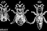 زنبور عسل کارگر را بهتر بشناسید!