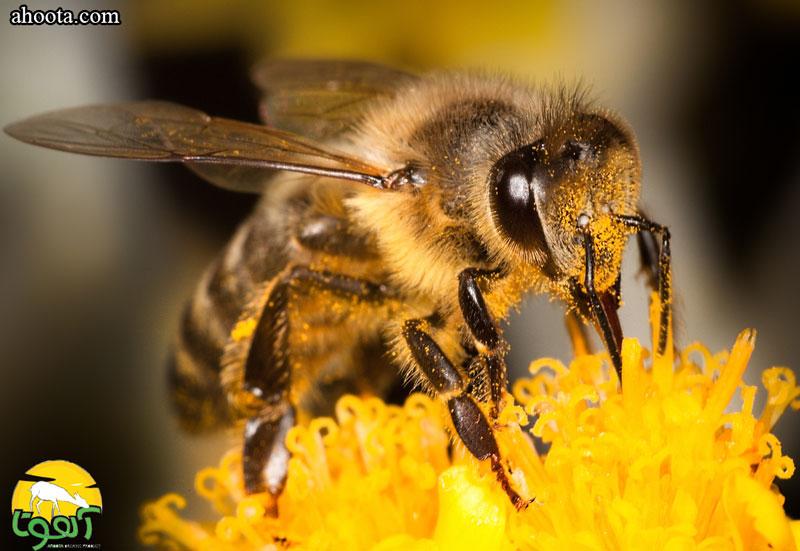 زهر زنبور عسل به عنوان یک داروی هومیوپاتیک