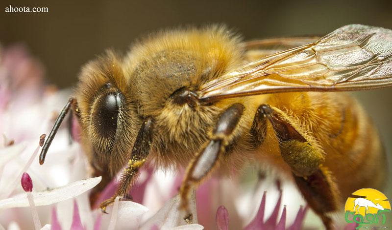روش کاربردی درمان حساسیت به نیش زنبور