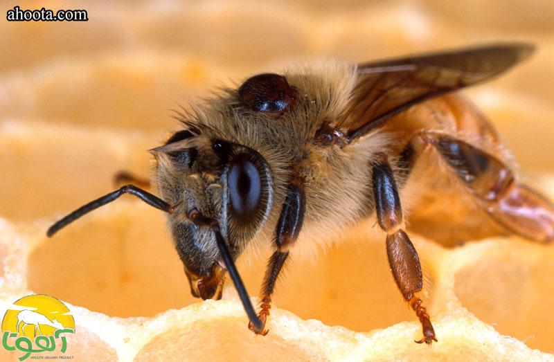 استفاده از زهر زنبور عسل برای درمان آرتروز