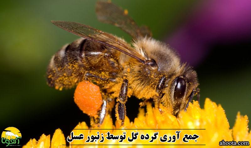 گرده گل چیست؟ نحوه جمع آوری، خواص و مضرات مصرف آن