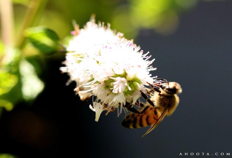 تصویر زنبور عسل