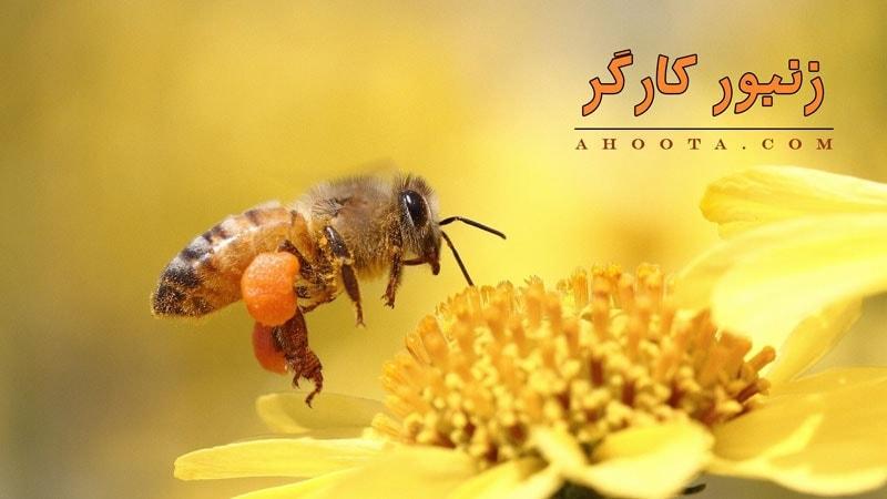 وظایف زنبور کارگز